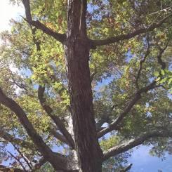 Keffer Oak